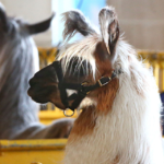 5 Surprising Facts About Animals at the Fair