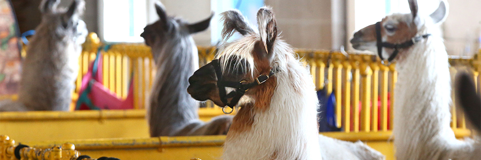 5 Surprising Facts About Animals at the Fair 1